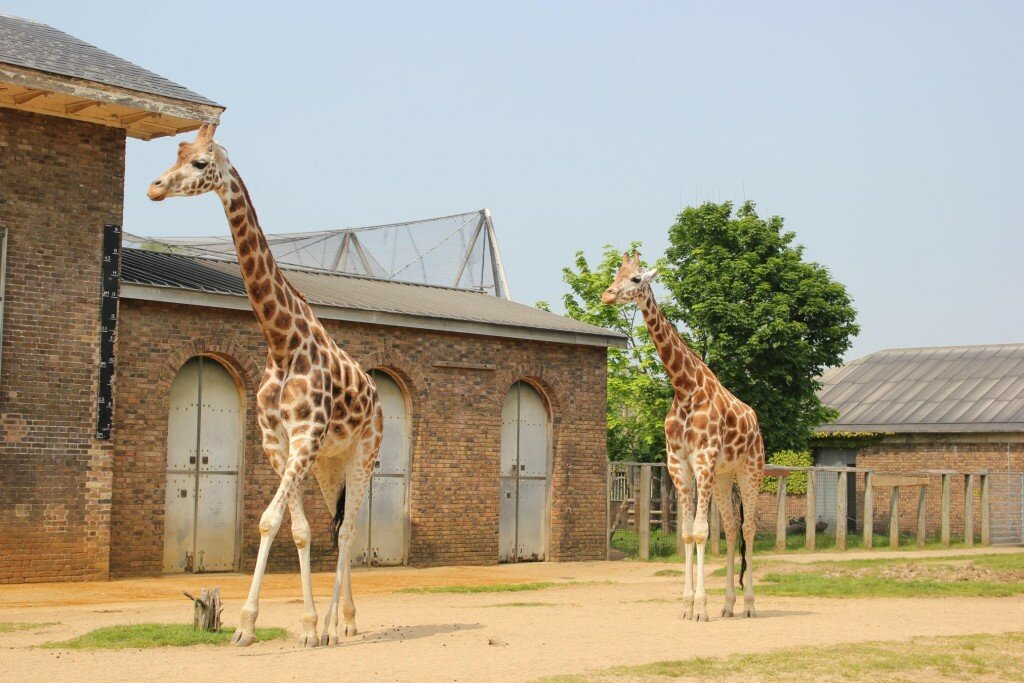 Girafas dão as boas-vindas aos visitantes do London Zoo. Fotos: Mapa de Londres