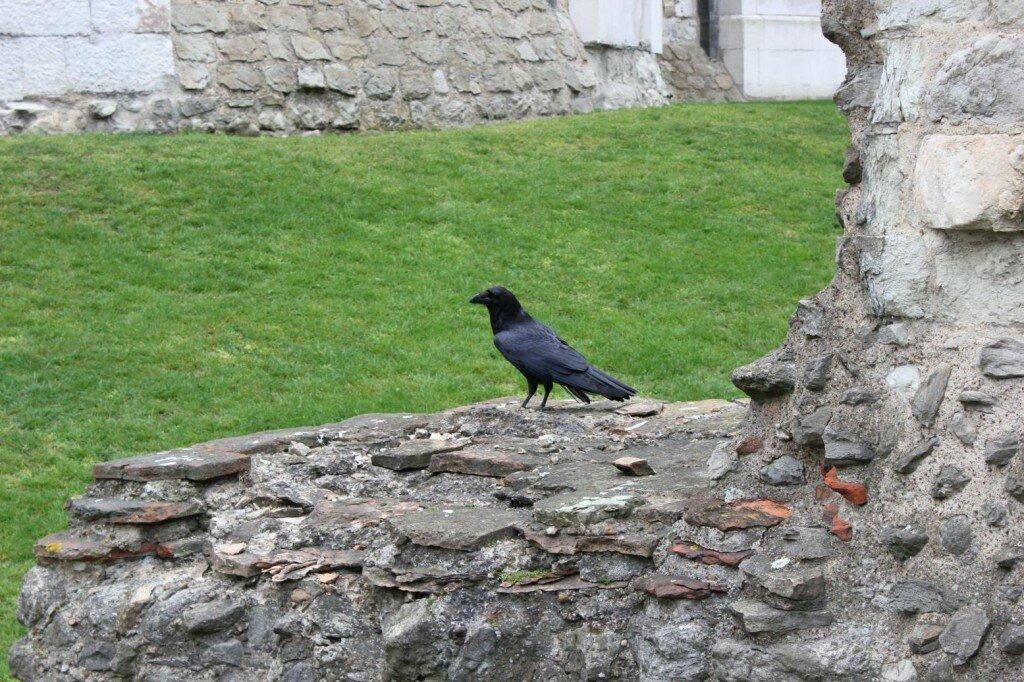 Corvo da Torre de Londres