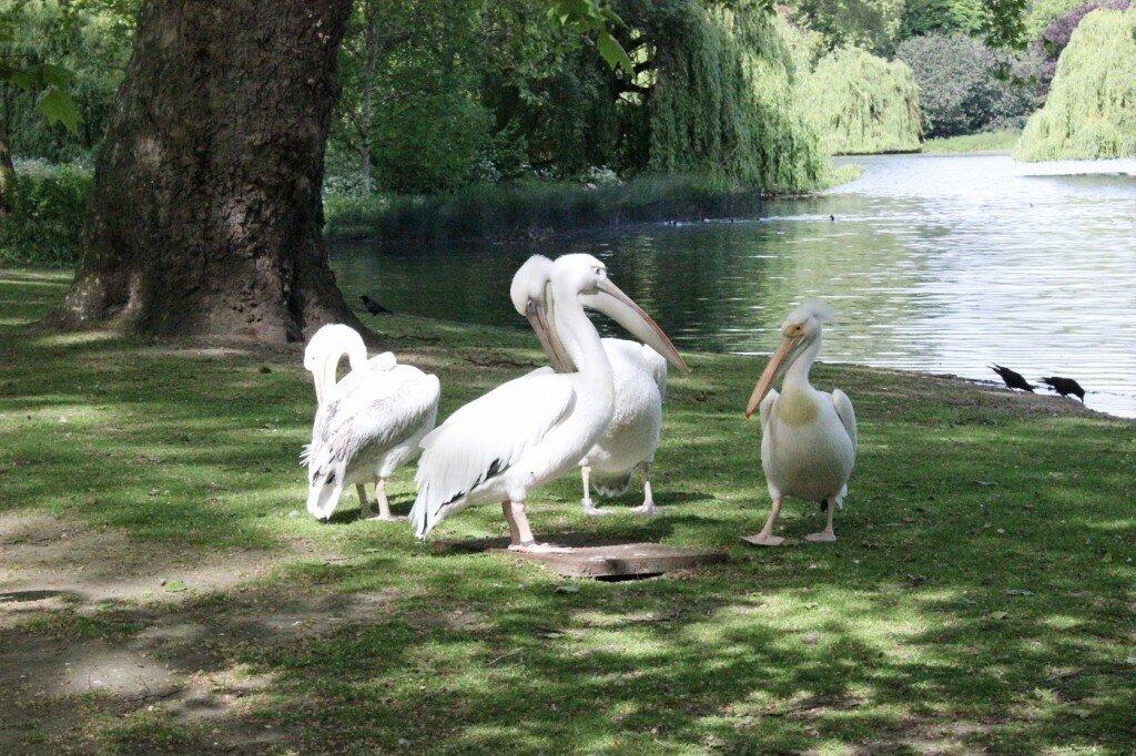 Estes pelicanos são atração do St. James's Park. Foto: Mapa de Londres