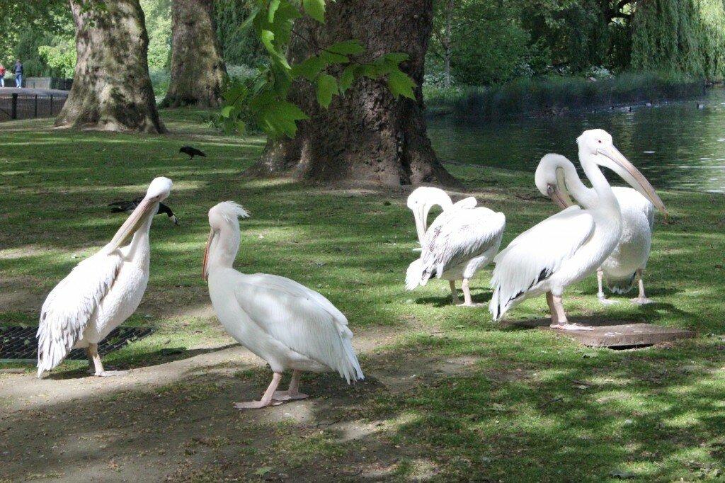 Os Pelicanos Reais. Foto: Mapa de Londres